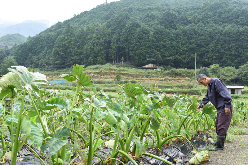 里芋の成長をみる池田さん